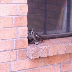 Owl Stranded on Window Sill Photo by Rachel Graves